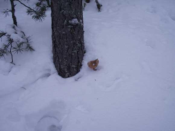 Лисичка под снегом