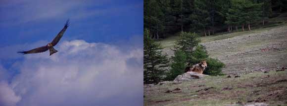Монгун-Тайга. Коршун и волк.