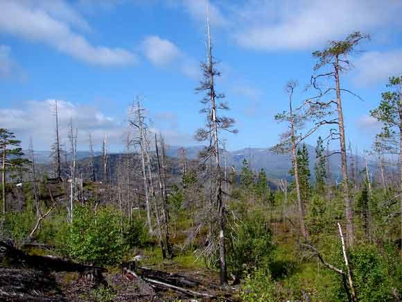 Горелый лес в Мончетундре