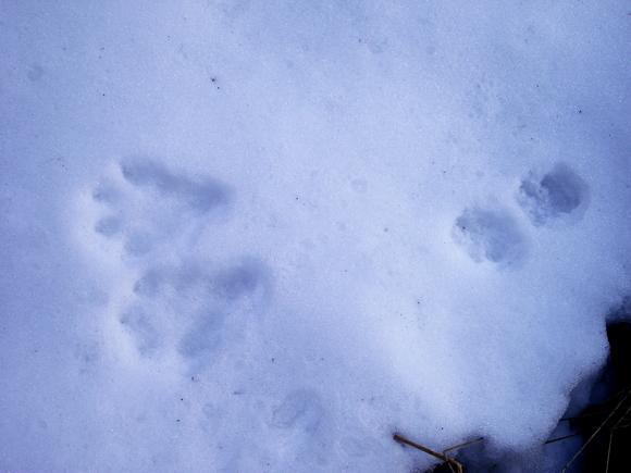 Следы рыси на снегу мраморного карьера Рускеала