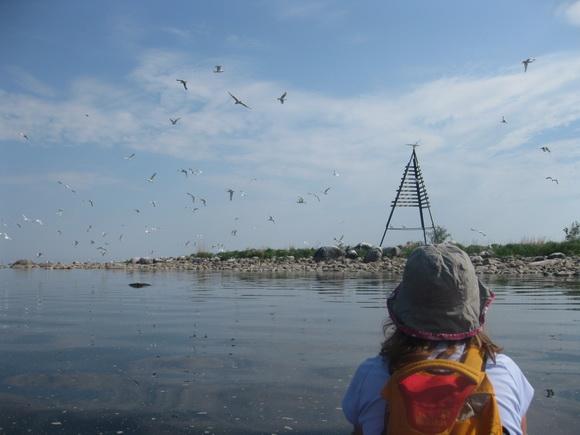 Птичий базар на острове в Ладожском озере (остров Надежный)