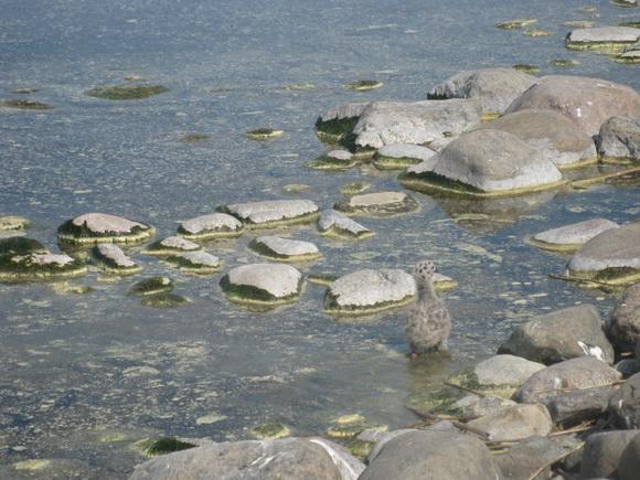 Птенцы чаек на острове Надежный на Ладоге