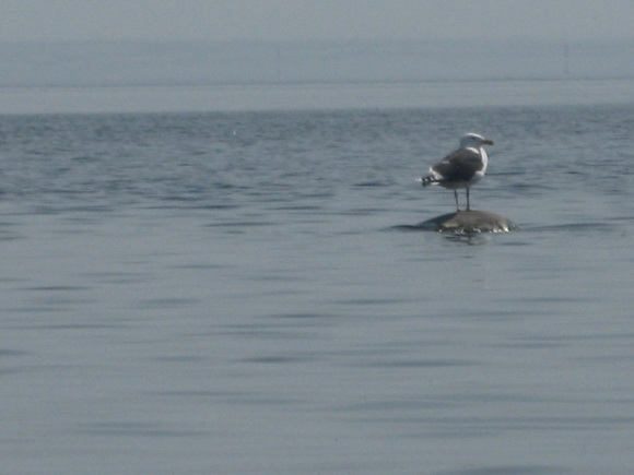 Сторожевая чайка у острова Надежный (Ладога, Тайпаловский залив)