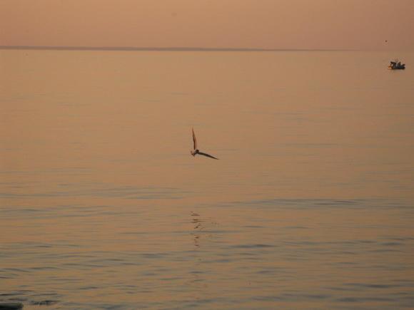 Чайка ловит рыбу на острове Узкий на Ладоге