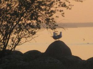 Чайки на острове Узкий (Ладога, Тайпаловский залив)