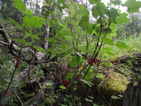 Ловозерские тундры. Дикая смородина