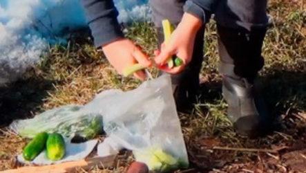 Огурцы малосольные в пакете: походный деликатес «на коленке»